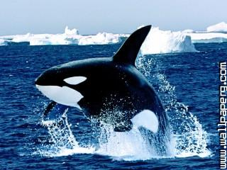 Emerging, killer whale ,wide,wallpapers,images,pictute,photos