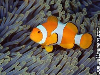 False clown anemonefish, bali, indonesia ,wide,wallpapers,images,pictute,photos