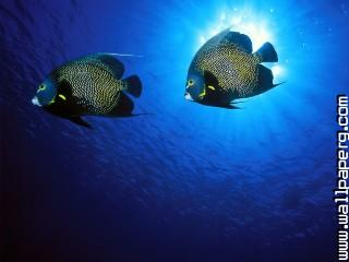 French angelfish ,wide,wallpapers,images,pictute,photos