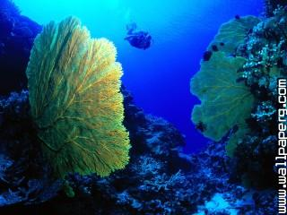 Gorgonian fan ,wide,wallpapers,images,pictute,photos