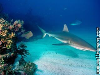 Gray reef sharks ,wide,wallpapers,images,pictute,photos