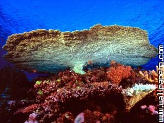 Huge table coral ,wide,wallpapers,images,pictute,photos