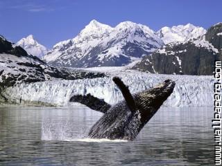 Humpback whale, alaska ,wide,wallpapers,images,pictute,photos