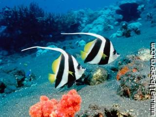 Long fin bannerfish, indonesia ,wide,wallpapers,images,pictute,photos