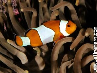 Percula clownfish, indo pacific ,wide,wallpapers,images,pictute,photos