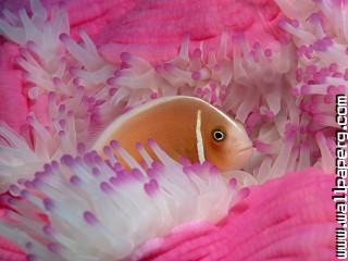 Pink anemonefish ,wide,wallpapers,images,pictute,photos