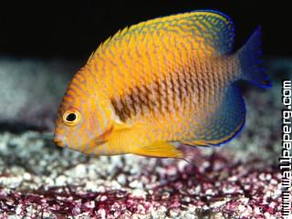Potter s angelfish
