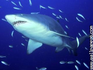 Predator, sand tiger shark