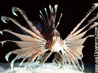 Red volitans lionfish, in