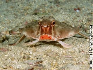 Red lipped batfish, cocos island, costa rica