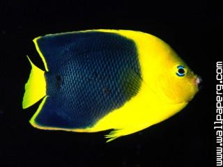 Rock beauty angelfish, indo pacific ,wide,wallpapers,images,pictute,photos