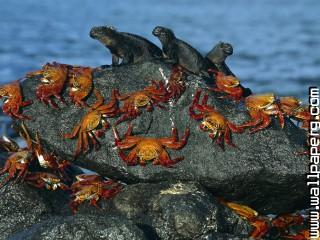 Sally lightfoot crabs and