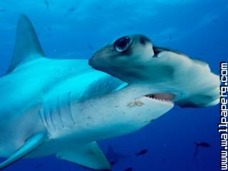 Scalloped hammerhead ,wide,wallpapers,images,pictute,photos