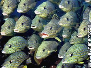 School of bluestriped grunt ,wide,wallpapers,images,pictute,photos