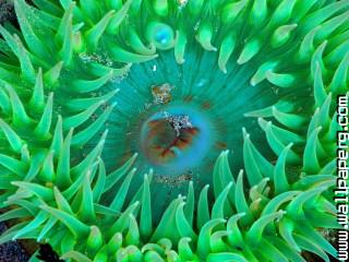Sea anemone ,wide,wallpapers,images,pictute,photos