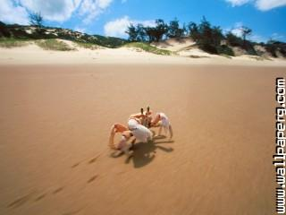 Sidesteppin , crab, bazaruto, mozambique ,wide,wallpapers,images,pictute,photos