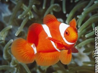 Spine cheek anemonefish,
