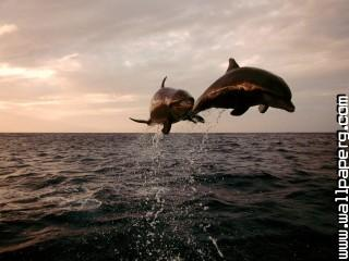 Taking flight, bottlenose