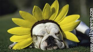Funny sunflower ,wide,wallpapers,images,pictute,photos