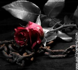Gothic rose ,wide,wallpapers,images,pictute,photos