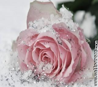 Frozen rose ,wide,wallpapers,images,pictute,photos