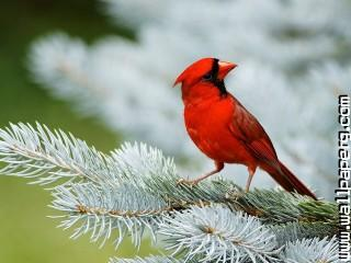 Cardinal bird ,wide,wallpapers,images,pictute,photos