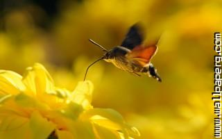 Hummingbird hawk moth ,wide,wallpapers,images,pictute,photos