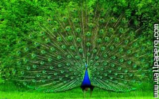 Peacock ,wide,wallpapers,images,pictute,photos