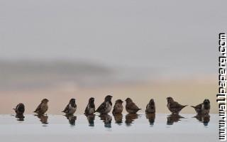Sparrows in a row ,wide,wallpapers,images,pictute,photos