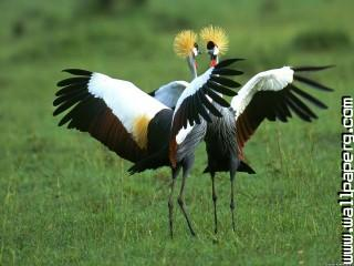 Ane birds cranes grass awesome wallpaper ,wide,wallpapers,images,pictute,photos