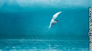Arctic tern ,wide,wallpapers,images,pictute,photos