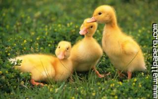 Baby birds duckling awesome wallpaper ,wide,wallpapers,images,pictute,photos