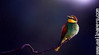 Bee eater ,wide,wallpapers,images,pictute,photos