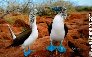 Birds blue footed boobies awesome wallpaper