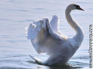 Birds swans awesome wallpaper