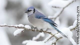 Blue jay ,wide,wallpapers,images,pictute,photos