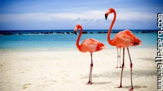 Flamingos ,wide,wallpapers,images,pictute,photos