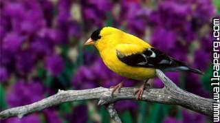 Goldfinch ,wide,wallpapers,images,pictute,photos