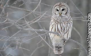 Grey owl ,wide,wallpapers,images,pictute,photos