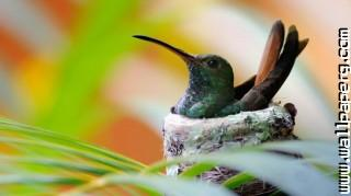 Hummingbird ,wide,wallpapers,images,pictute,photos