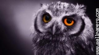 Owl ,wide,wallpapers,images,pictute,photos