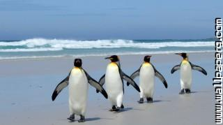 Penguins ,wide,wallpapers,images,pictute,photos