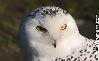 White owl ,wide,wallpapers,images,pictute,photos