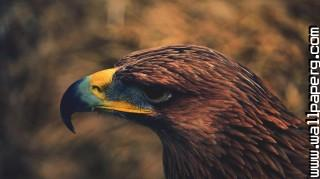Eagle head ,wide,wallpapers,images,pictute,photos