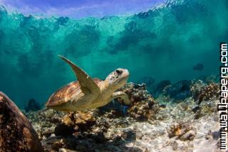 Undersea turtle ,wide,wallpapers,images,pictute,photos