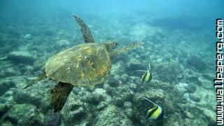 Undersea, turtles