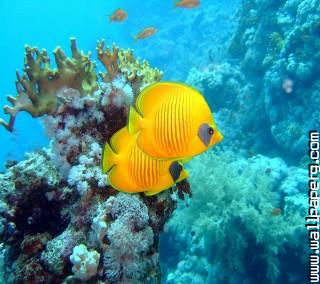Yellow fishes ,wide,wallpapers,images,pictute,photos