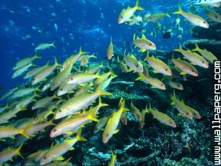 Yellow goatfish group ,wide,wallpapers,images,pictute,photos
