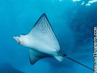 Animals manta ray sea awe