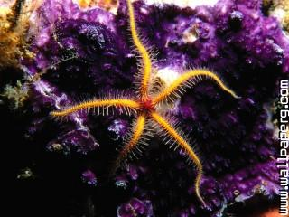 Animals sea sealife starfish awesome wallpaper ,wide,wallpapers,images,pictute,photos